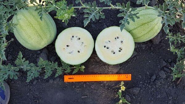 Các nhà tạo giống ở vùng Astrakhan đã nhân giống dưa hấu với ruột màu  trắng và hương vị chanh - Sputnik Việt Nam