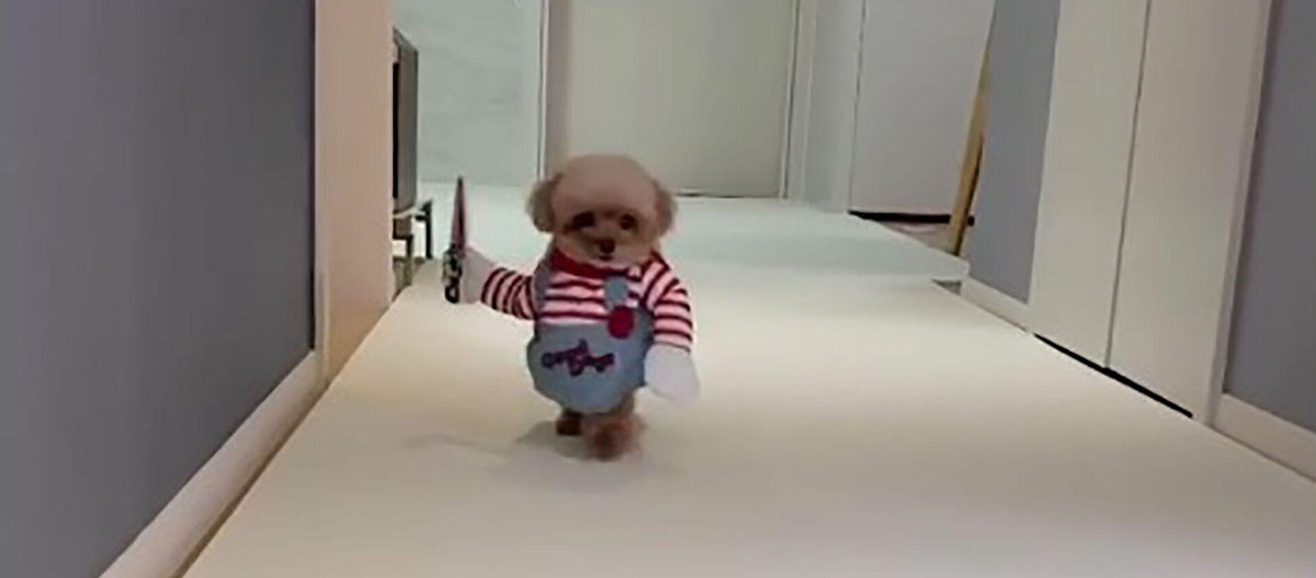 Vừa buồn cười vừa đáng sợ: chú chó nhỏ trong bộ trang phục búp bê - sát thủ. - Sputnik Việt Nam, 1920, 18.08.2020