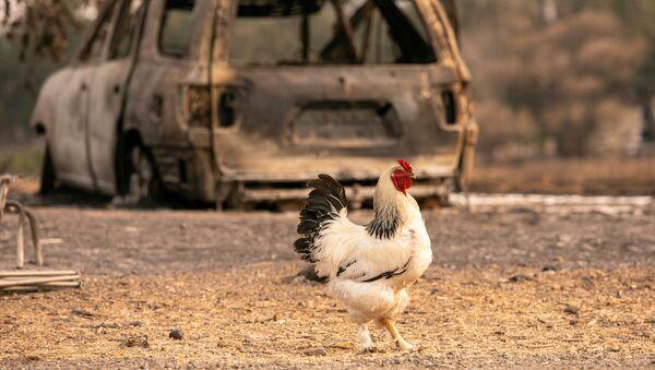 Gà trống bên chiếc xe hơi cháy rụi ở Vacaville, California - Sputnik Việt Nam