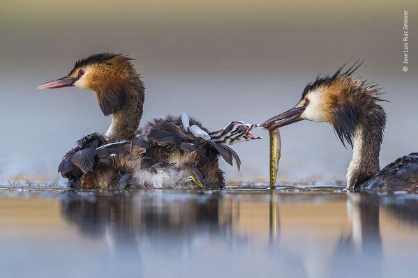 Ảnh «Great crested sunrise» của nhiếp ảnh gia Tây Ban Nha Jose Luis Ruiz Jiménez, người chiến thắng hạng mục Hành vi: Chim, cuộc thi Wildlife Photographer of the Year 56  - Sputnik Việt Nam