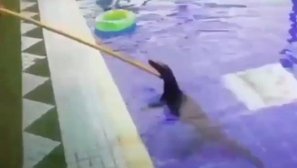 Con thằn lằn thư giãn trong hồ bơi khách sạn ở Thái Lan. - Sputnik Việt Nam