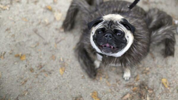 Một chú pug hóa trang thành tarantula tham gia lễ diễu hành Halloween hàng năm dành cho chó ở New York. - Sputnik Việt Nam