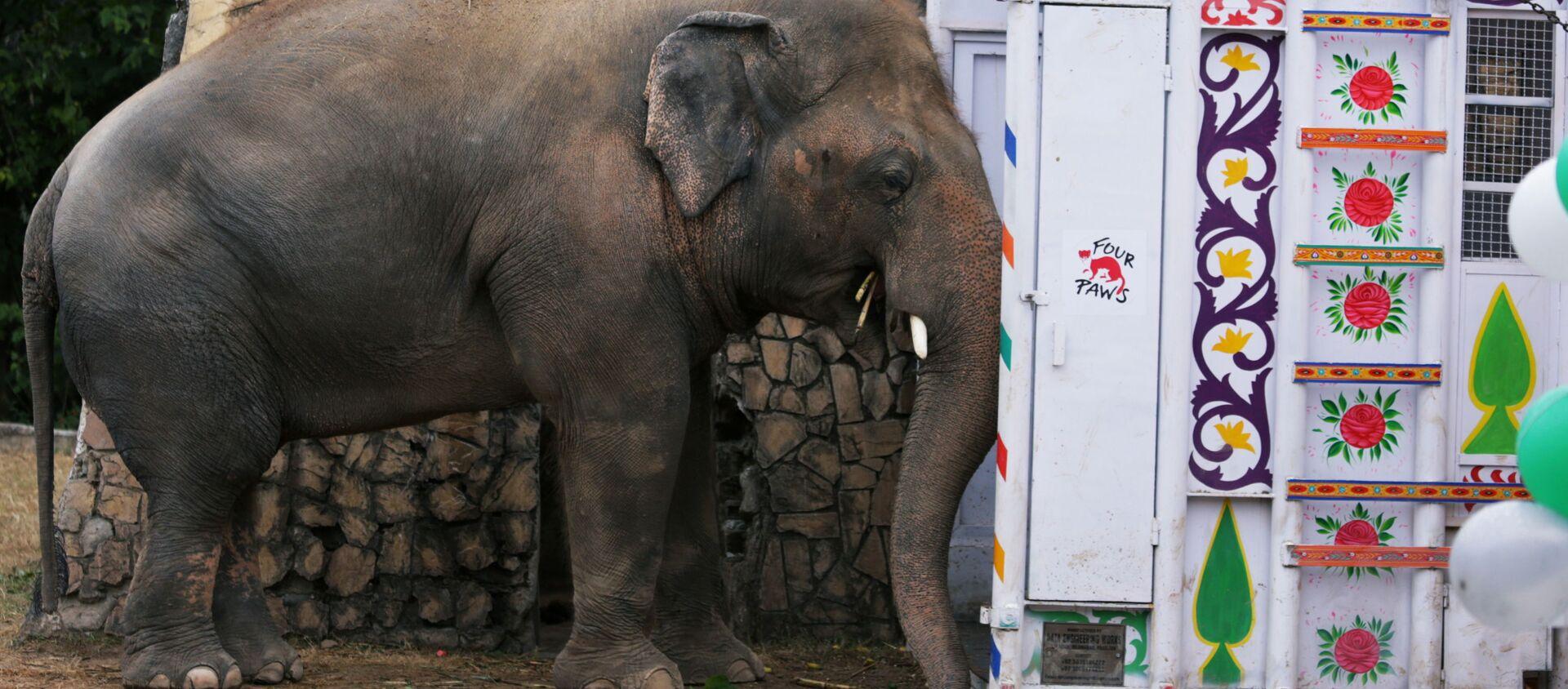 Con voi với biệt hiệu Kaavan đang chờ để được chuyển hộ khẩu từ Vườn thú Marghazar ở Islamabad, Pakistan đến Khu bảo tồn thiên nhiên ở Campuchia.  - Sputnik Việt Nam, 1920, 30.11.2020