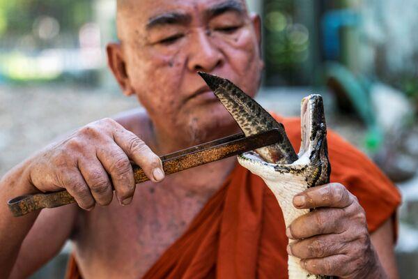 Nhà sư với rắn trong ngôi chùa Phật giáo ở Myanmar - Sputnik Việt Nam