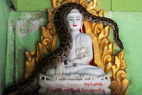 Trăn trên pho tượng Phật trong ngôi chùa ở Myanmar - Sputnik Việt Nam