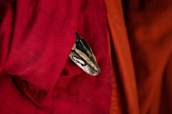 Trăn nhìn ra từ áo choàng của nhà sư tại ngôi chùa Myanmar - Sputnik Việt Nam