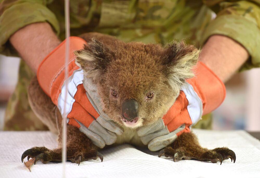 Gấu túi bị thương trong vụ cháy rừng ở Úc đang được điều trị tại bệnh viện dã chiến tạm thời ở Công viên động vật hoang dã Đảo Kangaroo
