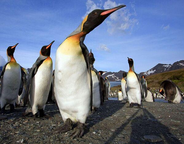 Chim cánh cụt trên đảo Nam Georgia - Sputnik Việt Nam