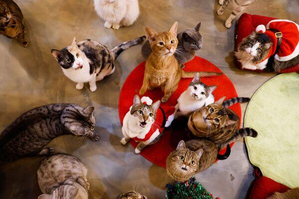Những chú mèo trong trang phục Giáng sinh tại Catgarden ở Seoul, Hàn Quốc - Sputnik Việt Nam