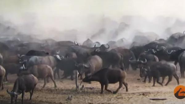 Đoạn video về cảnh hàng chục con trâu giày xéo sư tử cái được tung lên mạng - Sputnik Việt Nam