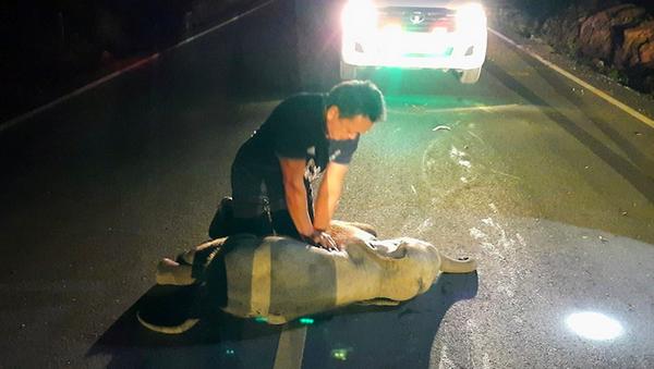 Bệnh nhân bất thường – nhân viên cứu hộ ở Thái Lan phải xoa bóp tim cho voi con bị xe máy đâm - Sputnik Việt Nam