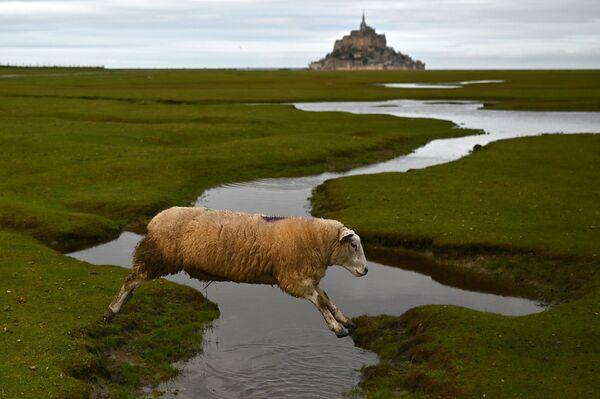 Cừu nhảy qua suối ở Mont Saint-Michel, Pháp - Sputnik Việt Nam