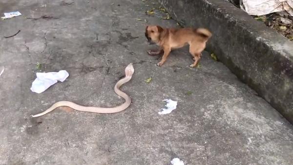 Chú chó táo bạo dám trêu chọc rắn - Sputnik Việt Nam