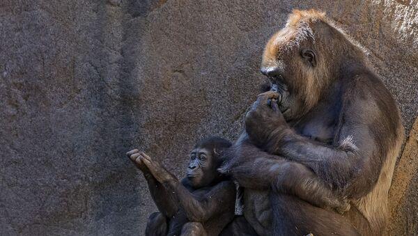 Con khỉ đột  - Sputnik Việt Nam