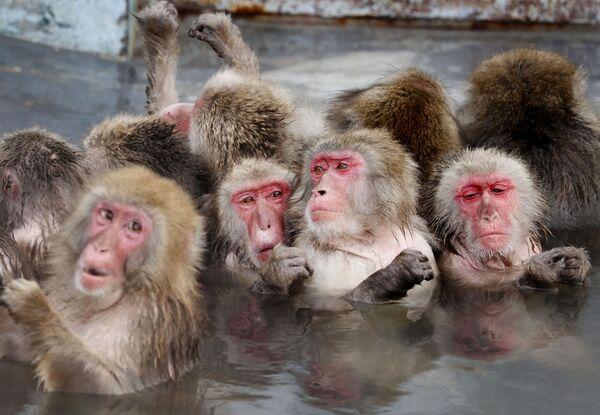 Khỉ Macaca tắm suối nước nóng trong vườn bách thảo nhiệt đới ở Hokkaido, Nhật Bản - Sputnik Việt Nam