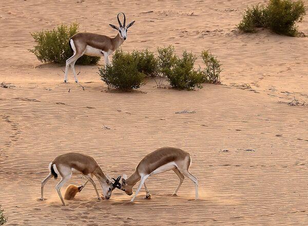 Những con linh dương hươu tại sa mạc tại khu nghỉ dưỡng Telal Al Ain, UAE - Sputnik Việt Nam