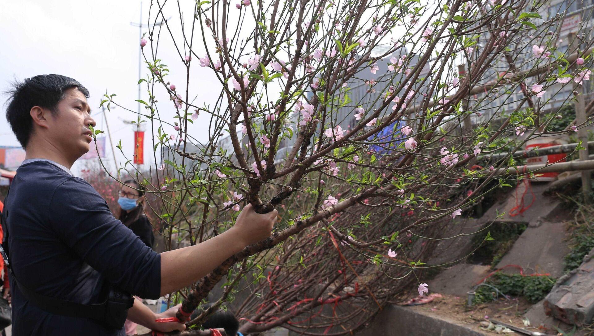 Chợ hoa Quảng Bá (Hà Nội) đỏ rực hoa đào đón Tết Tân Sửu 2021 - Sputnik Việt Nam, 1920, 04.02.2021
