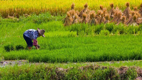 Thu hoạch lúa ở Trung Quốc - Sputnik Việt Nam