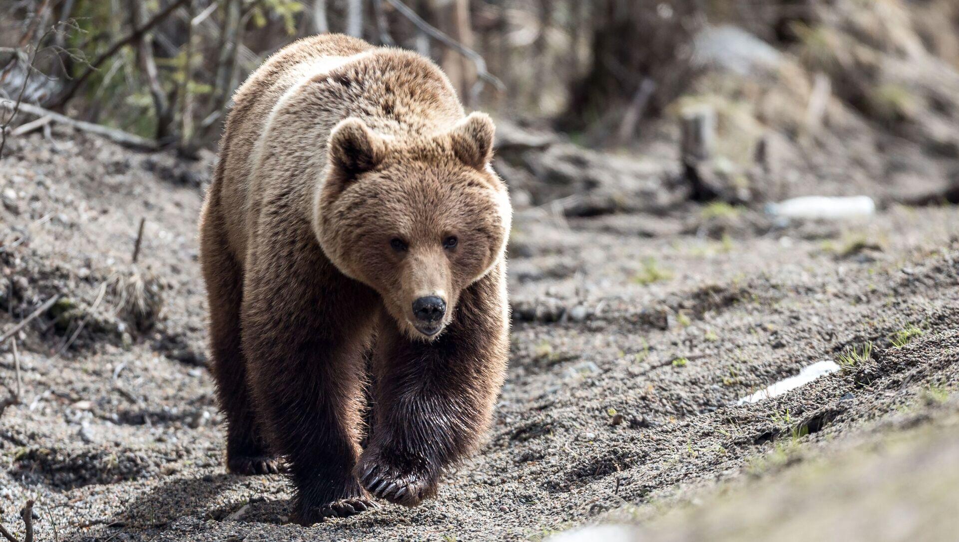 Con gấu nâu trên đường cao tốc Saint Petersburg - Murmansk - Sputnik Việt Nam, 1920, 26.04.2021