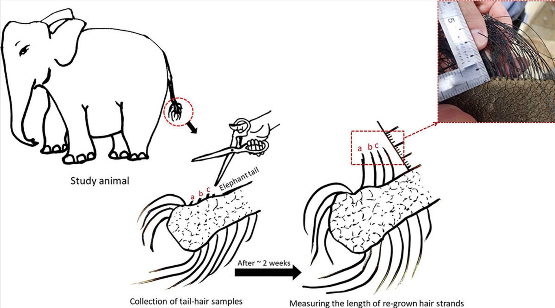 Bằng chứng trung thực nhất: Nghiên cứu đời sống của voi qua lông đuôi - Sputnik Việt Nam, 1920, 05.03.2021