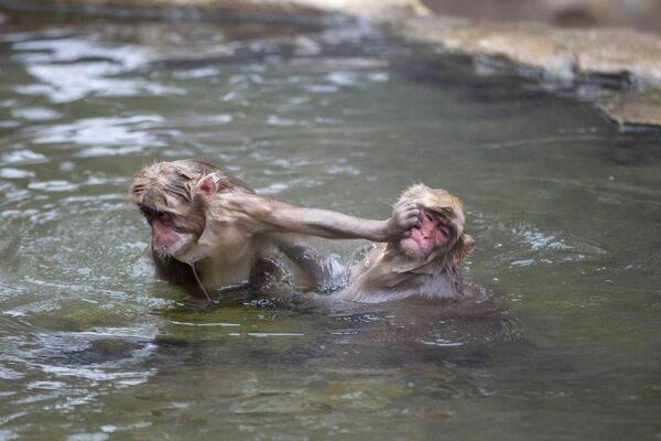 Những con khỉ Nhật Bản trong suối nước nóng tại Công viên Khỉ Jigokudani ở tỉnh Nagano - Sputnik Việt Nam