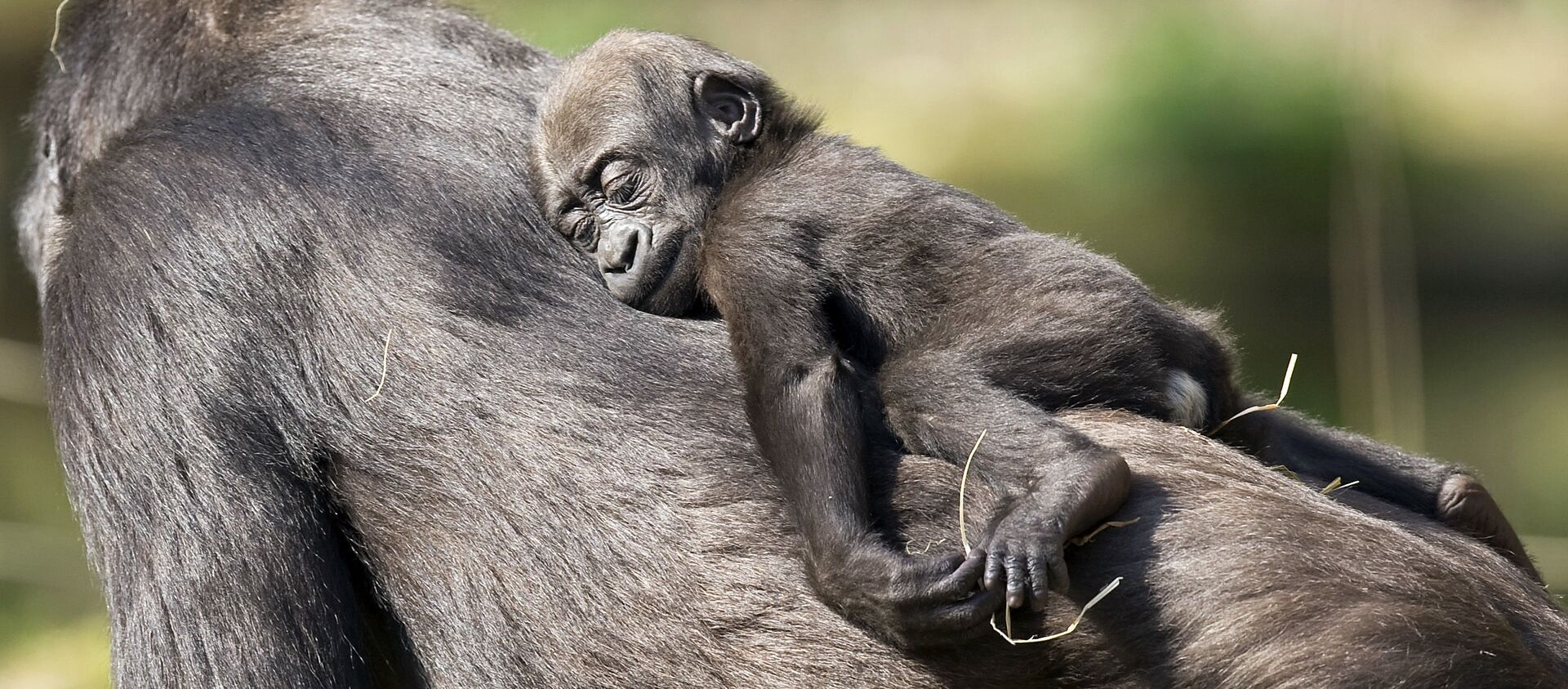 Khỉ con ngủ trên lưng mẹ khỉ đột ở vườn thú Duisburg - Sputnik Việt Nam, 1920, 19.03.2021