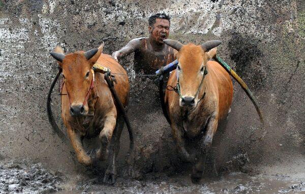 Một nài bò quất con bò của mình trong cuộc đua Pacu Jawi, Tây Sumatra, Indonesia - Sputnik Việt Nam