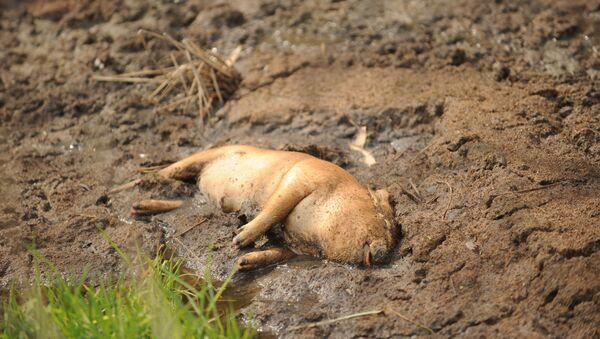 Xác lợn nằm phơi trên ruộng. - Sputnik Việt Nam