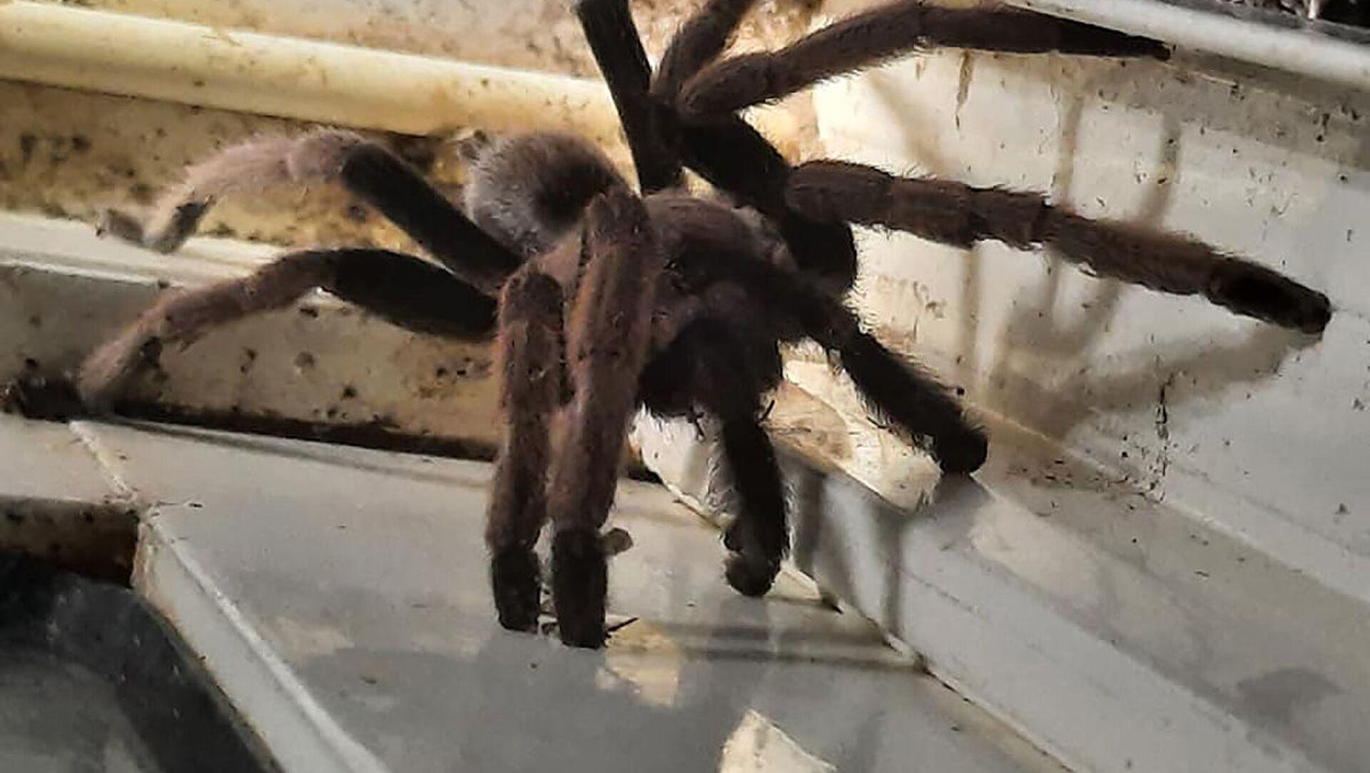 Một trong những loài nhện tarantula được tìm thấy ở Úc - Sputnik Việt Nam, 1920, 24.03.2021