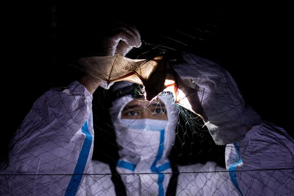 Nhà sinh thái học về dơi gỡ con dơi ra khỏi lưới tại Đại học Los Baños, Philippines - Sputnik Việt Nam