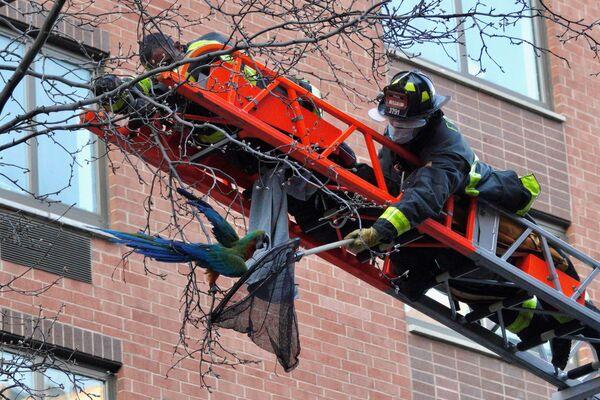 Các nhân viên cứu hộ thành phố New York giải cứu con vẹt đuôi dài Dylan từ trên cây ở khu Manhattan, New York - Sputnik Việt Nam