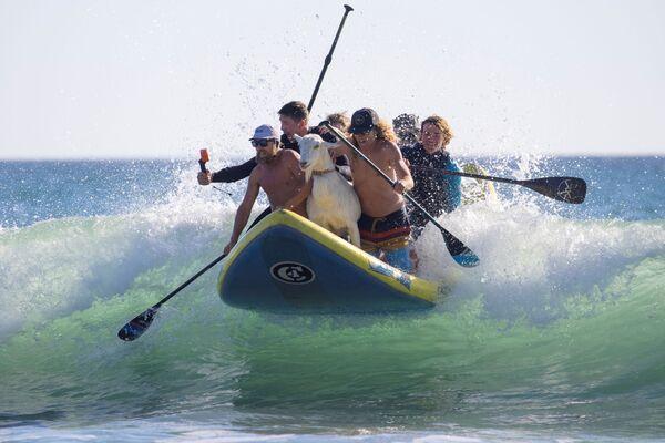 Lướt sóng với con dê ở San Clemente, California - Sputnik Việt Nam