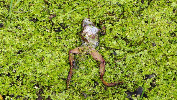 Con ếch chết - Sputnik Việt Nam