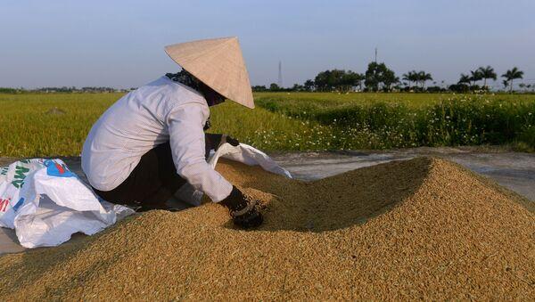 Фермер на рисовом поле на окраине Ханоя, Вьетнам - Sputnik Việt Nam