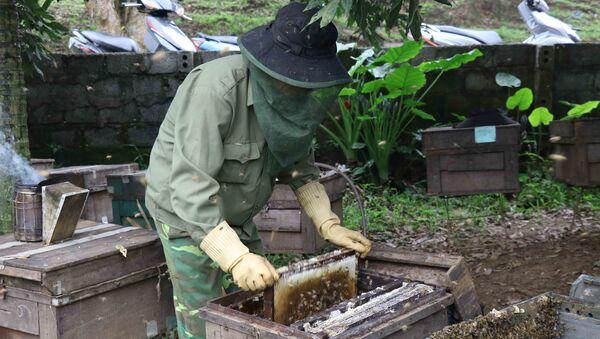 Người dân lấy cầu đựng ong ra khỏi thùng mang đi lấy mật. - Sputnik Việt Nam