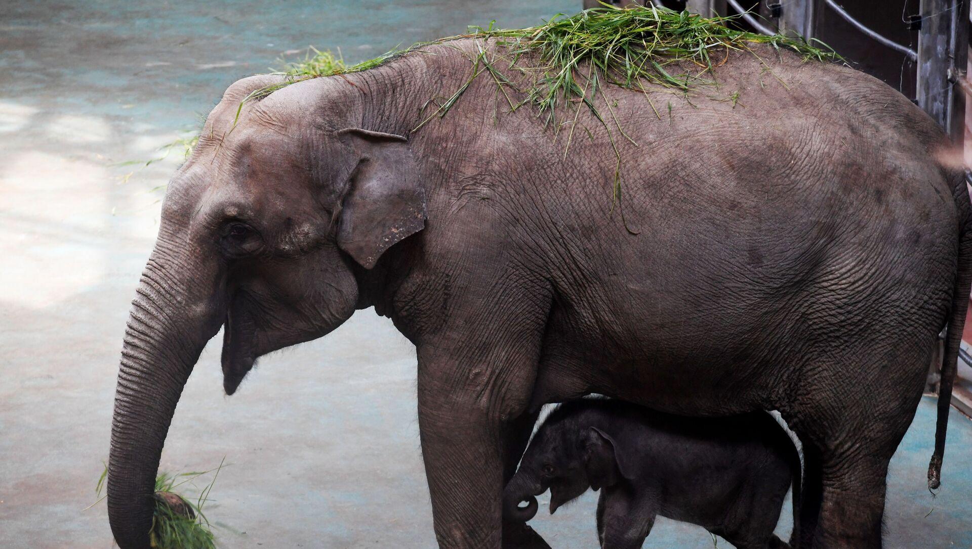 Voi châu Á là một trong nhiều loài động vật khẳng định tầm quan trọng toàn cầu của đa dạng sinh học Việt Nam - Sputnik Việt Nam, 1920, 13.08.2021