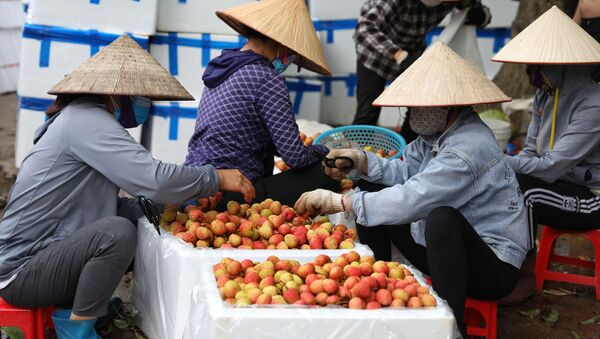 Điểm thu mua và sơ chế vải sớm tại xã Phượng Sơn, huyện Lục Ngạn (Bắc Giang) - Sputnik Việt Nam