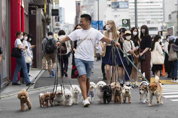 Người chuyên dẫn chó đi dạo băng qua đường với chó ở Tokyo - Sputnik Việt Nam