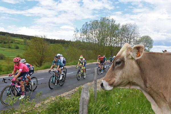 Người đi xe đạp vượt qua một con bò trong cuộc đua Criterium du Dauphine - Sputnik Việt Nam