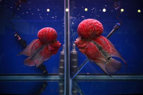 Hai con cichlid (Cá hoàng đế) đang quan sát nhau qua bể kính riêng biệt tại triển lãm cá cảnh và nhiệt đới ở Bangkok - Sputnik Việt Nam