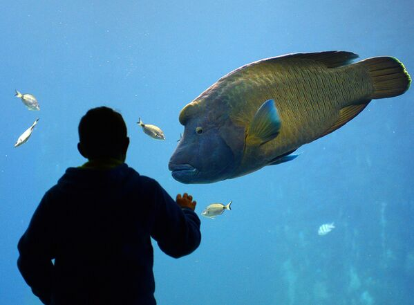 Cá Napoleon (Cá sú mì ) tại Africanarium trong Vườn thú Wroclaw ở Ba Lan - Sputnik Việt Nam