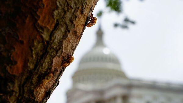 Ve sầu trên cây gần Điện Capitol ở Washington. - Sputnik Việt Nam