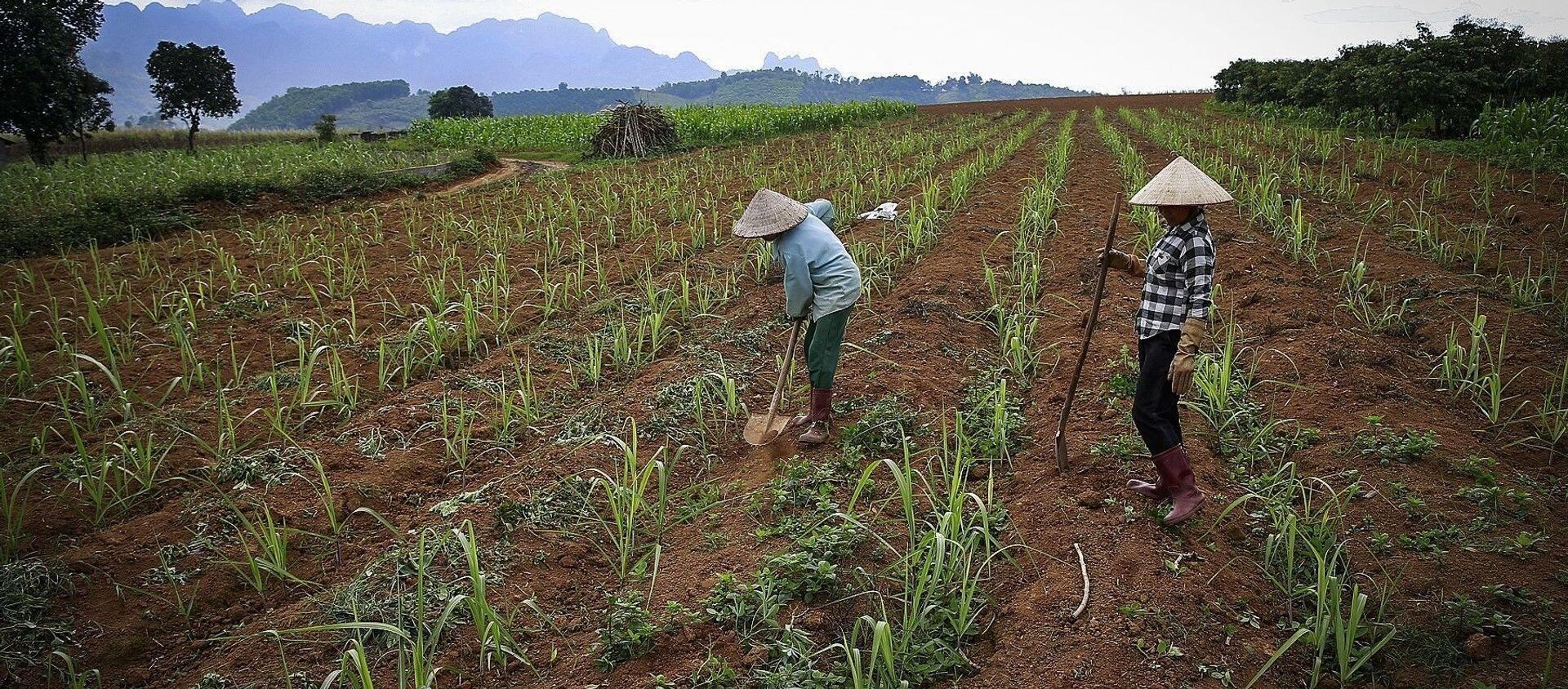 Những cánh đồng đang được những người nông dân trồng mía ở xã Mỹ Hòa - Tân Lạc. - Sputnik Việt Nam, 1920, 16.06.2021