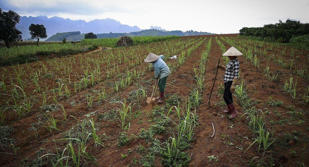 Những cánh đồng đang được những người nông dân trồng mía ở xã Mỹ Hòa - Tân Lạc.