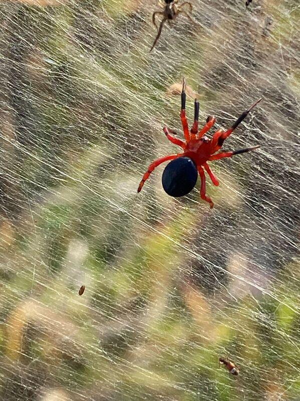 Nhện đỏ và nhện đen trong đầm lầy ở Úc - Sputnik Việt Nam