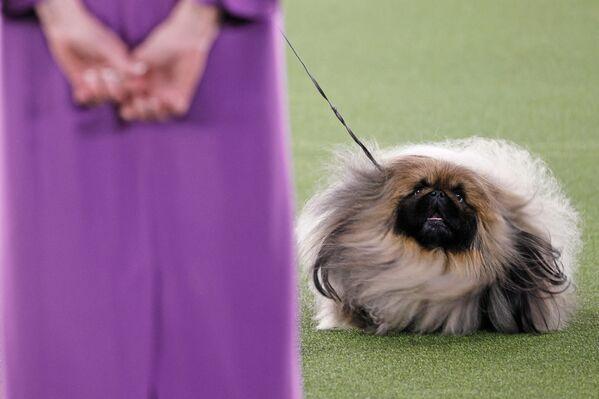 Con chó Wasabi giống Bắc Kinh tham dự triển lãm chó Westminster Kennel Club ở Tarrytown, New York - Sputnik Việt Nam