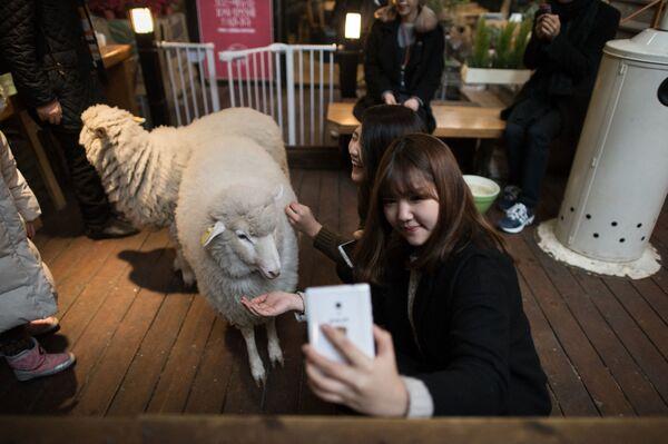 Cô gái với con cừu trong quán cà phê ở Seoul - Sputnik Việt Nam