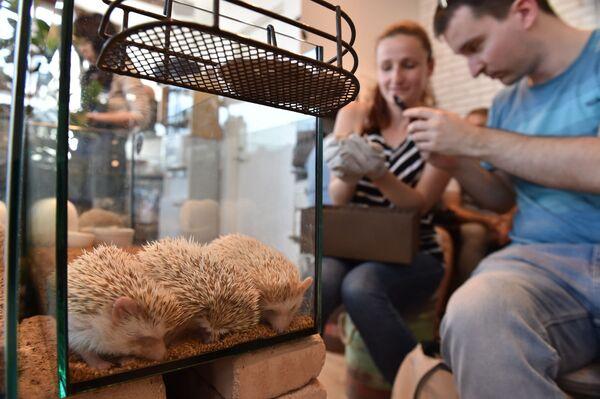 Khách du lịch đến từ Úc với những chú nhím tại quán Harry Hedgehog ở Tokyo - Sputnik Việt Nam