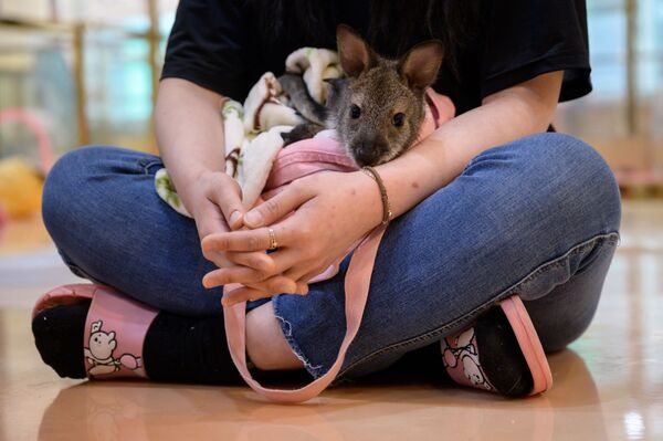 Nhân viên quán Eden Meerkat Friends với chuột túi Wallaby ở Seoul - Sputnik Việt Nam