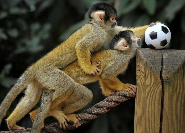 Khỉ sóc Bolivia chơi đùa với quả bóng trong buổi chụp ảnh tại Sở thú London - Sputnik Việt Nam